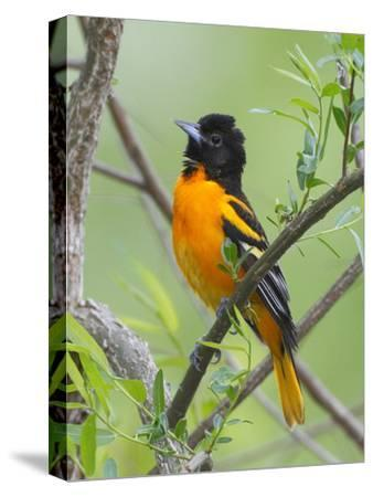 A Baltimore Oriole, Icterus Galbula, Perched in a Tree-George Grall-Stretched Canvas Print