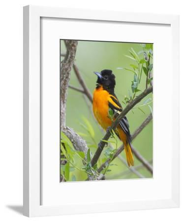 A Baltimore Oriole, Icterus Galbula, Perched in a Tree-George Grall-Framed Photographic Print