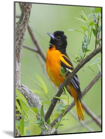 A Baltimore Oriole, Icterus Galbula, Perched in a Tree-George Grall-Mounted Photographic Print