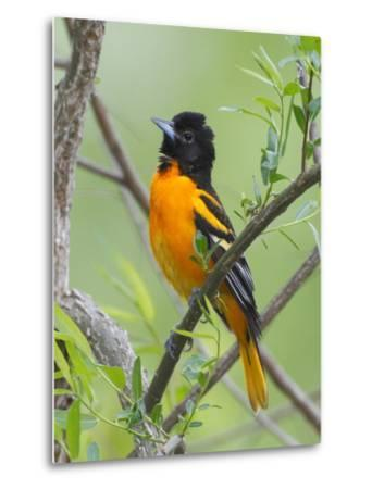 A Baltimore Oriole, Icterus Galbula, Perched in a Tree-George Grall-Metal Print