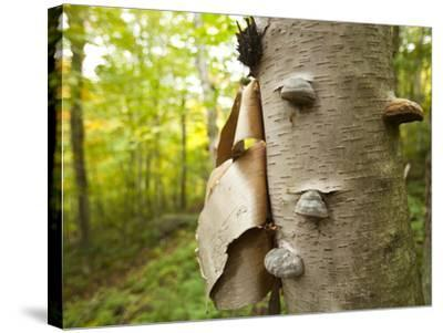 Fungi on a White Birch Tree in the High Peaks Region-Michael Melford-Stretched Canvas Print