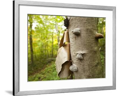Fungi on a White Birch Tree in the High Peaks Region-Michael Melford-Framed Photographic Print