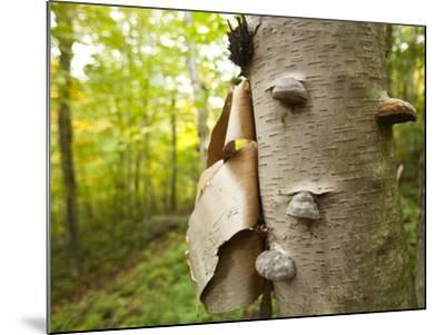 Fungi on a White Birch Tree in the High Peaks Region-Michael Melford-Mounted Photographic Print