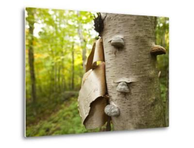 Fungi on a White Birch Tree in the High Peaks Region-Michael Melford-Metal Print