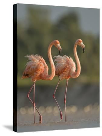 A Pair of Caribbean Flamingos in Display Behavior-Klaus Nigge-Stretched Canvas Print