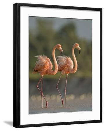 A Pair of Caribbean Flamingos in Display Behavior-Klaus Nigge-Framed Photographic Print