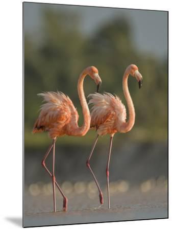 A Pair of Caribbean Flamingos in Display Behavior-Klaus Nigge-Mounted Photographic Print