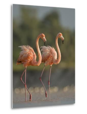 A Pair of Caribbean Flamingos in Display Behavior-Klaus Nigge-Metal Print