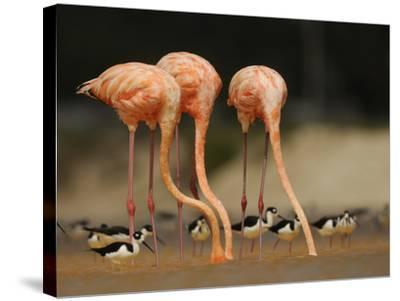 Caribbean Flamingos and Black Necked Stilts Feed in a Lagoon-Klaus Nigge-Stretched Canvas Print