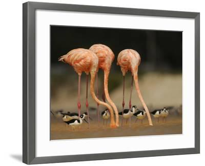 Caribbean Flamingos and Black Necked Stilts Feed in a Lagoon-Klaus Nigge-Framed Photographic Print