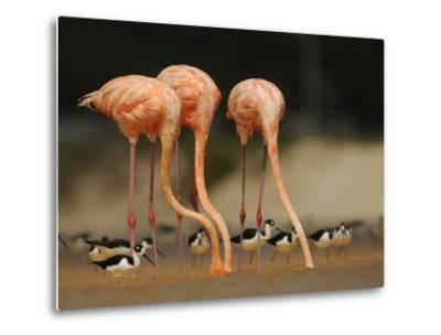 Caribbean Flamingos and Black Necked Stilts Feed in a Lagoon-Klaus Nigge-Metal Print