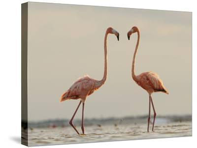 A Pair of Caribbean Flamingos Prepare to Fight in a Lagoon-Klaus Nigge-Stretched Canvas Print