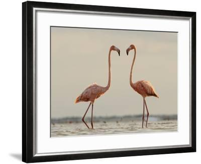 A Pair of Caribbean Flamingos Prepare to Fight in a Lagoon-Klaus Nigge-Framed Photographic Print