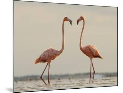 A Pair of Caribbean Flamingos Prepare to Fight in a Lagoon-Klaus Nigge-Mounted Photographic Print
