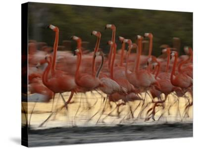 Caribbean Flamingos Run with Raised Heads in Display Behavior-Klaus Nigge-Stretched Canvas Print