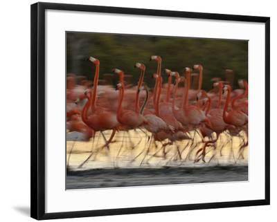 Caribbean Flamingos Run with Raised Heads in Display Behavior-Klaus Nigge-Framed Photographic Print