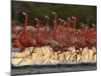 Caribbean Flamingos Run with Raised Heads in Display Behavior-Klaus Nigge-Mounted Photographic Print