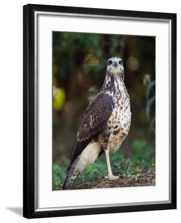 Great Black Hawk, Buteogallus Urubitinga-Roy Toft-Framed Photographic Print