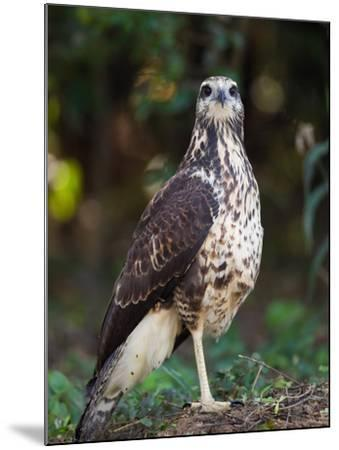 Great Black Hawk, Buteogallus Urubitinga-Roy Toft-Mounted Photographic Print