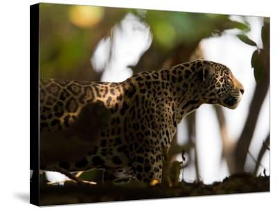 Jaguar, Panthera Onca, Walking in the Shade-Roy Toft-Stretched Canvas Print