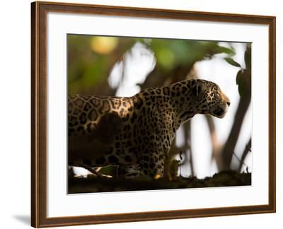 Jaguar, Panthera Onca, Walking in the Shade-Roy Toft-Framed Photographic Print
