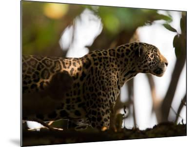Jaguar, Panthera Onca, Walking in the Shade-Roy Toft-Mounted Photographic Print