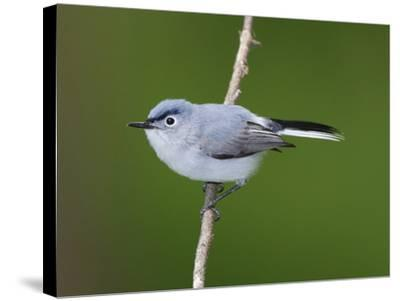 A Blue Gray Gnatcatcher, Polioptila Caerulea, on a Tree Branch-George Grall-Stretched Canvas Print