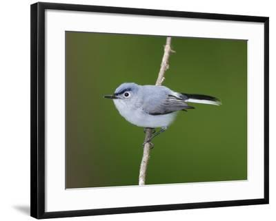 A Blue Gray Gnatcatcher, Polioptila Caerulea, on a Tree Branch-George Grall-Framed Photographic Print