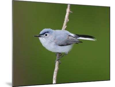 A Blue Gray Gnatcatcher, Polioptila Caerulea, on a Tree Branch-George Grall-Mounted Photographic Print