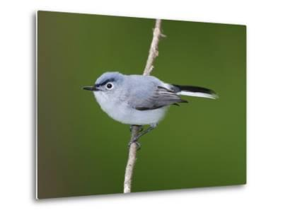 A Blue Gray Gnatcatcher, Polioptila Caerulea, on a Tree Branch-George Grall-Metal Print