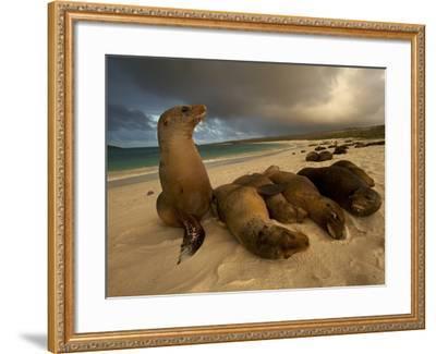 Galapagos Sea Lions, Zalophus Wollebaeki, on the Beach-Tim Laman-Framed Photographic Print