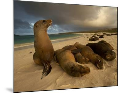 Galapagos Sea Lions, Zalophus Wollebaeki, on the Beach-Tim Laman-Mounted Photographic Print