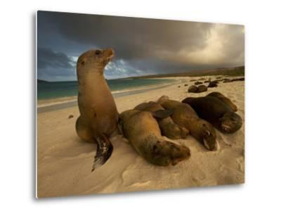 Galapagos Sea Lions, Zalophus Wollebaeki, on the Beach-Tim Laman-Metal Print