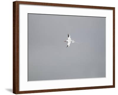 A Red-Billed Tropicbird, Phaethon Aethereus, Flying on a Cloudy Day-Tim Laman-Framed Photographic Print