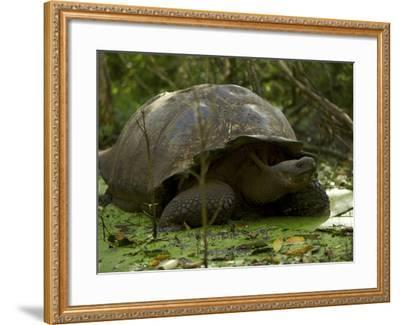 A Wild Galapagos Giant Tortoise, Chelonoidis Nigra Porteri, Eating-Tim Laman-Framed Photographic Print