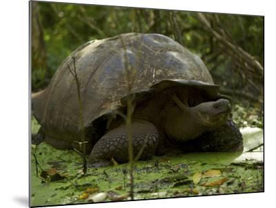 A Wild Galapagos Giant Tortoise, Chelonoidis Nigra Porteri, Eating-Tim Laman-Mounted Photographic Print