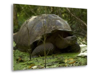 A Wild Galapagos Giant Tortoise, Chelonoidis Nigra Porteri, Eating-Tim Laman-Metal Print