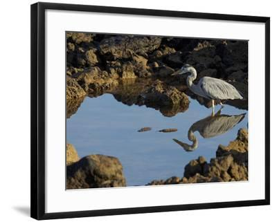 A Great Blue Heron, Ardea Herodias, in a Tidal Pool-Tim Laman-Framed Photographic Print