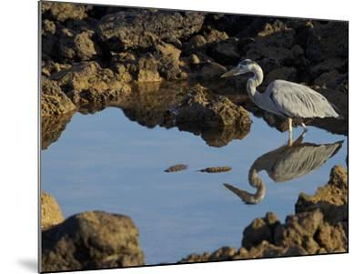 A Great Blue Heron, Ardea Herodias, in a Tidal Pool-Tim Laman-Mounted Photographic Print