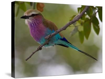 A Lilac-Breasted Roller, Coracias Caudatus, Perched on a Branch-Roy Toft-Stretched Canvas Print