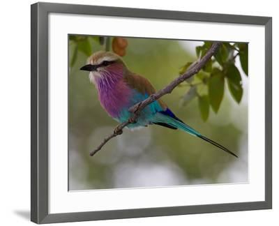 A Lilac-Breasted Roller, Coracias Caudatus, Perched on a Branch-Roy Toft-Framed Photographic Print