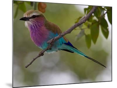 A Lilac-Breasted Roller, Coracias Caudatus, Perched on a Branch-Roy Toft-Mounted Photographic Print