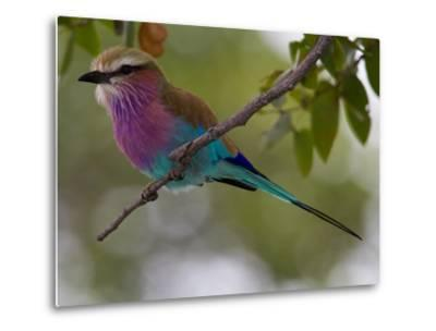 A Lilac-Breasted Roller, Coracias Caudatus, Perched on a Branch-Roy Toft-Metal Print