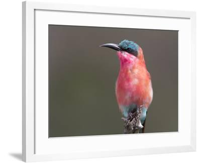 Portrait of a Southern Carmine Bee-Eater, Merops Nibicoides-Roy Toft-Framed Photographic Print
