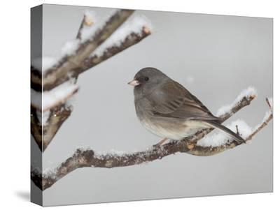 A Dark-Eyed Junco, Junco Hyemalis, Perched on a Snowy Branch-George Grall-Stretched Canvas Print