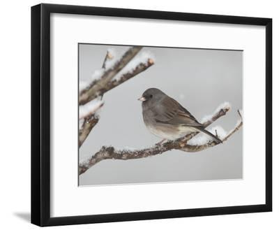 A Dark-Eyed Junco, Junco Hyemalis, Perched on a Snowy Branch-George Grall-Framed Photographic Print