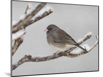 A Dark-Eyed Junco, Junco Hyemalis, Perched on a Snowy Branch-George Grall-Mounted Photographic Print