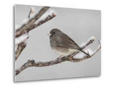 A Dark-Eyed Junco, Junco Hyemalis, Perched on a Snowy Branch-George Grall-Metal Print
