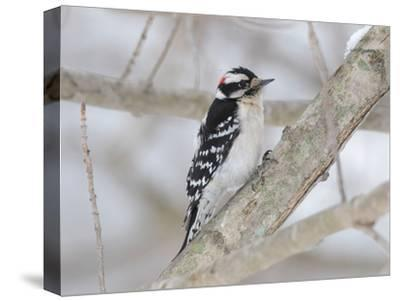 A Downy Woodpecker, Picoides Pubescens, on a Snowy Tree Branch-George Grall-Stretched Canvas Print
