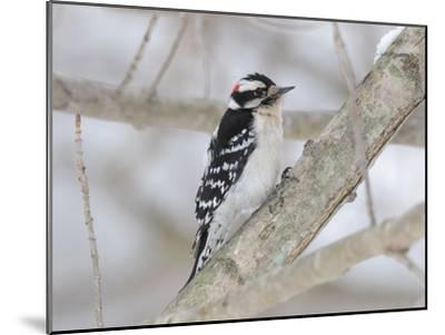 A Downy Woodpecker, Picoides Pubescens, on a Snowy Tree Branch-George Grall-Mounted Photographic Print